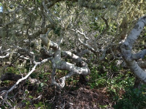 Pygmy Oaks in the Elfin Forest in Los Osos, CA
