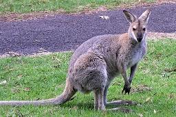 red-neck wallaby