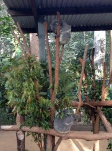 koala, lone pine koala sanctuary, brisbane, australia