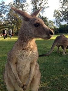 kangaroo, Michelle Lunicke, Lone Pine Koala Santuary, Australia