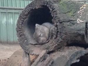 wombat, lone pine koala sanctuary, brisbane, australia
